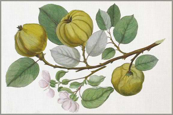 click here to view larger image of Quince (None Selected)